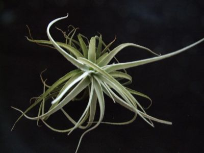 Detaily položky Tillandsia meridionalis v. subsecundifolia